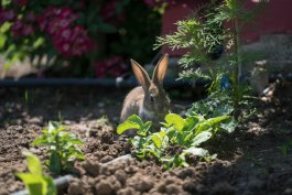 How to Repel Rabbits from Plants