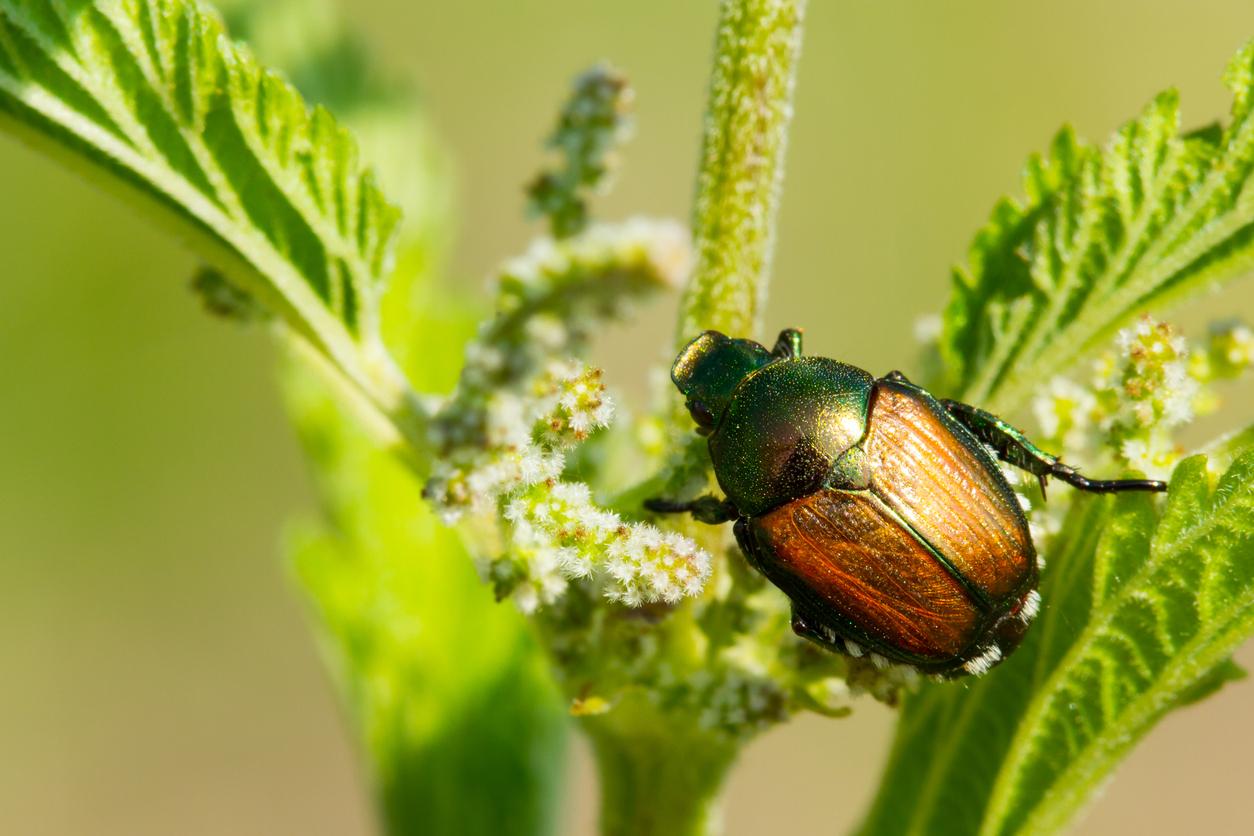 Japanese flying beetle