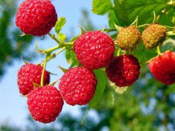 Beautiful raspberries on the bush