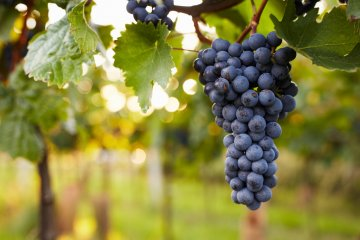 Red wine grapes in the vineyard.