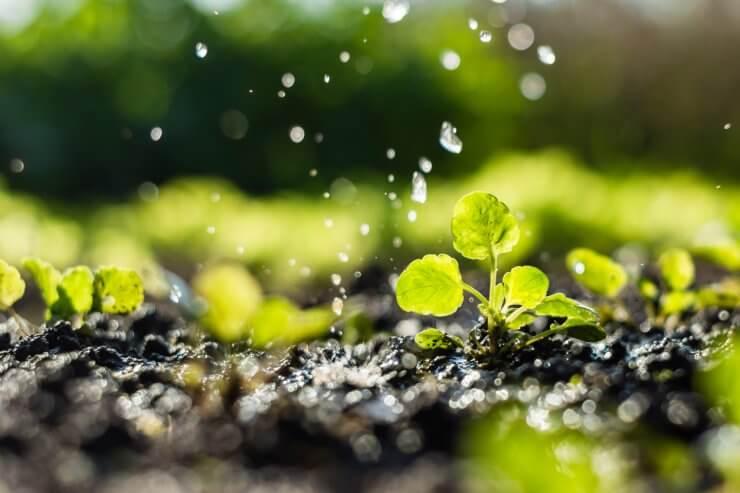 Watering seedlings