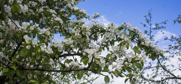 The 10 Most Beautiful Flowering Fruit Trees