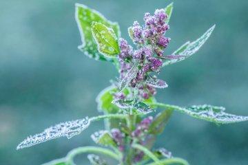 Biobio White Quinoa