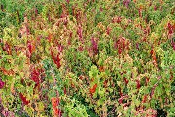 Brightest Brilliant Rainbow Red Quinoa