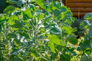 Brussels Sprouts in Home Garden