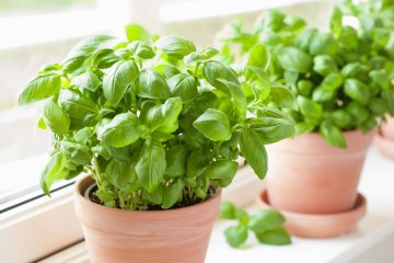 How Much Water Does Basil Need?