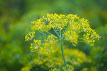 Herb fennel in the garden