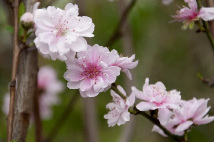 peach tree The 10 Most Beautiful Flowering Fruit Trees