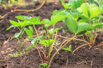 Planted strawberry seedlings