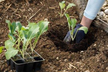 Planting cauliflower seedlings