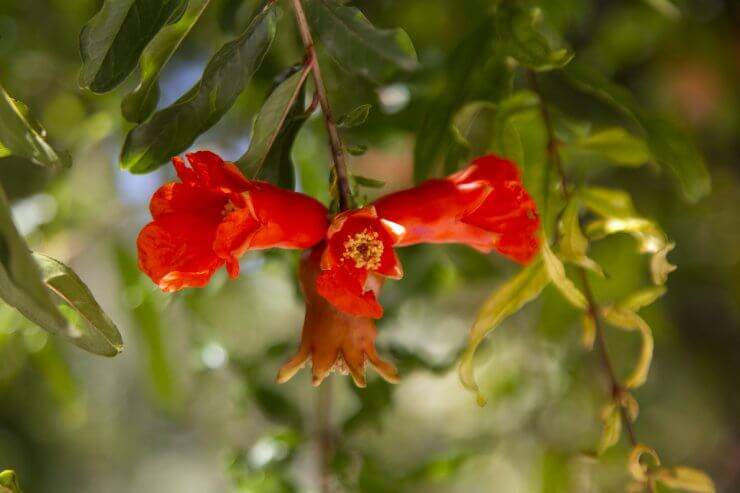 pomegranate tree The 10 Most Beautiful Flowering Fruit Trees