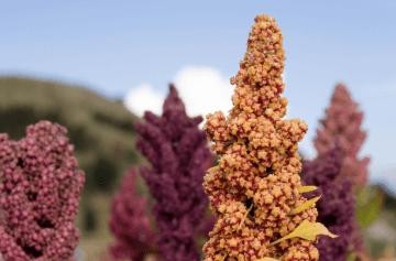 Types of Quinoa