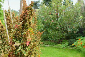 Quinoa growing in a garden