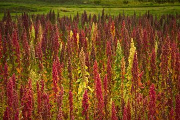 Red and green quinoa growing in a field