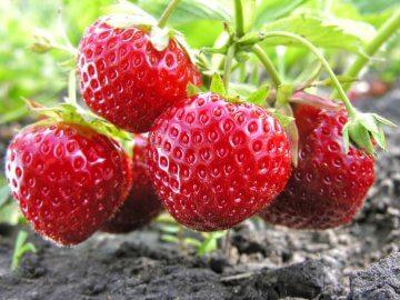 Strawberries in open ground