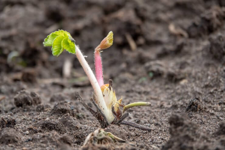 Strawberry seedling