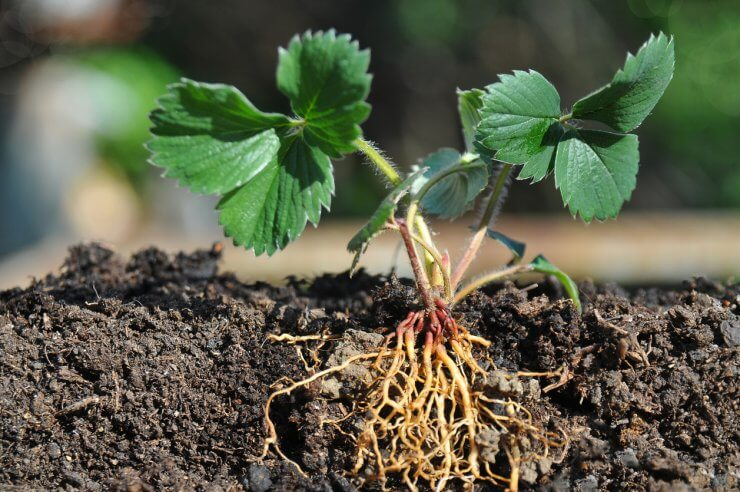 Strawberry seedling with roots