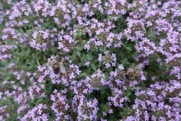 """""""Mother of Thyme"""" variety"""