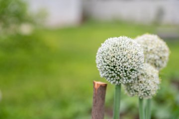 Onion flower going to seed