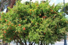 5 Tips for Growing a Pomegranate Tree from Seed