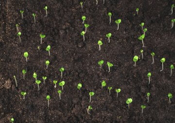 Thyme seedlings in open soil