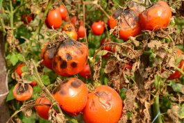 How to Stop Vegetable Diseases from Invading Your Garden