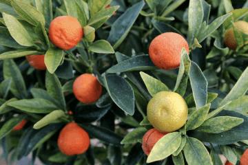 Chang-Shou/Fukushu Kumquat