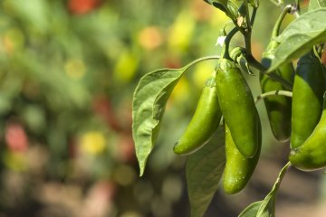 5 Ways to Preserve Jalapeños and Other Spicy Peppers