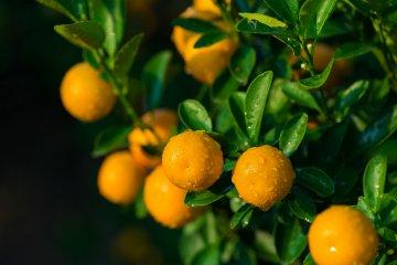 Kumquats are a delicious orange treat!