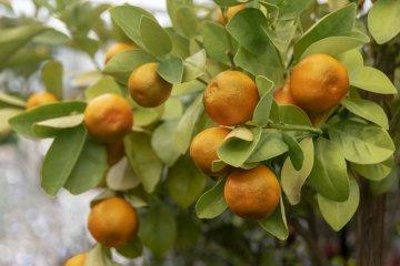 Marumi Kumquat