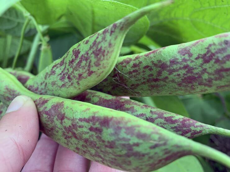 types of beans to grow