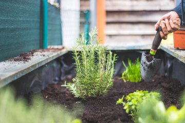 Planting rosemary in large planter box