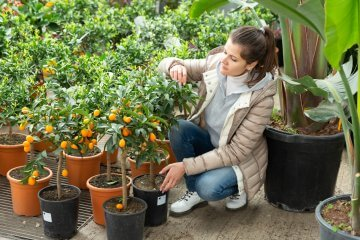 Potted kumquat trees can be a good choice
