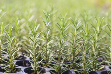 Rosemary seedlings starting in containers