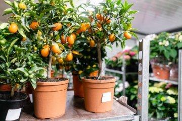 Young kumquat trees in nursery
