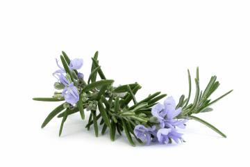 Boy Blue Rosemary