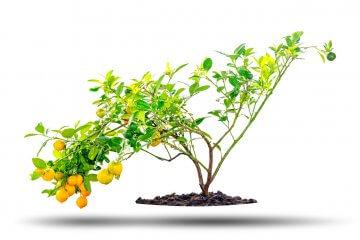 A beautiful small kumquat tree