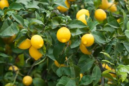 5 Tips for Growing Lemons from Seed