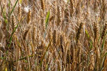 Baart Early Spring Wheat