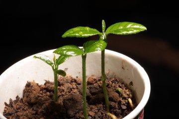 Lemon tree seedlings, grown from seed