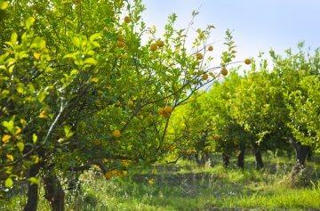 Lemon trees in a grove