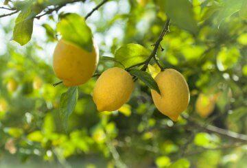Beautiful lemons on a tree