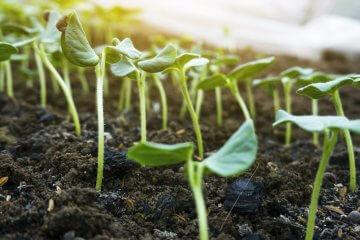 Okra seedlings