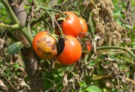 How to Stop Vegetable Blight from Ruining Tomatoes
