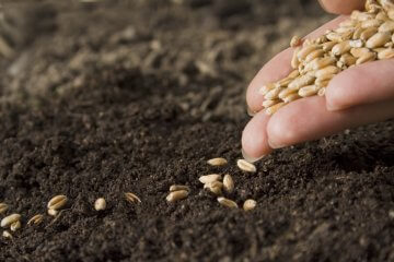 Sowing wheat seeds