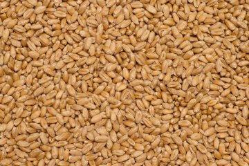 Turkey red winter wheat