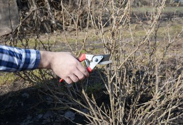 Taking a cutting from an established gooseberry bush