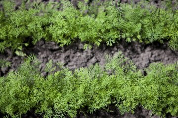 Dill growing in open ground