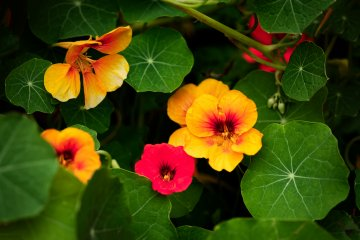 Why and How to Grow Nasturtium in Vegetable Gardens