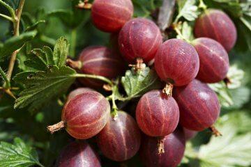 Jahn's Prairie Gooseberry